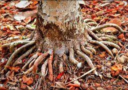 Rễ cau chữa bệnh yếu sinh lý tốt không? Cách thực hiện