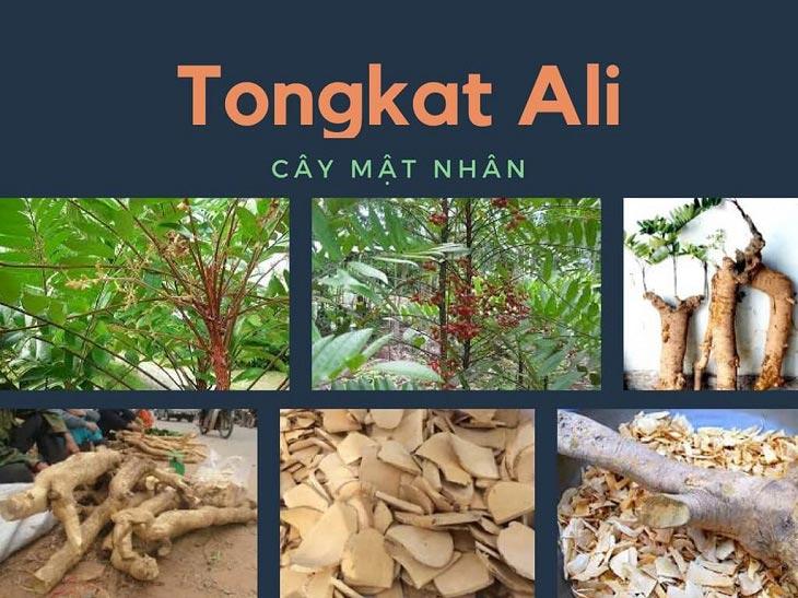 Bài thuốc trị xuất tinh sớm bằng cây Tongkat Ali