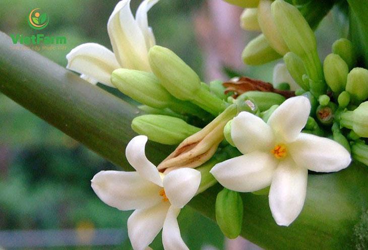 Vùng nuôi trồng hoa đu đủ đực Vietfarm theo hình thức thâm canh, hữu cơ