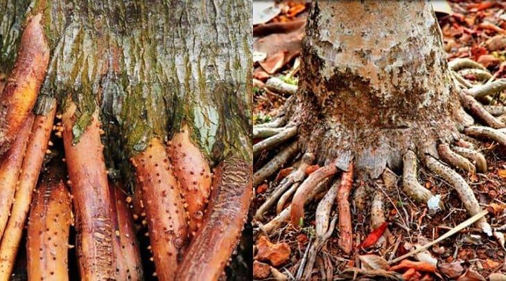 Điều trị xuất tinh sớm bằng rễ cau treo
