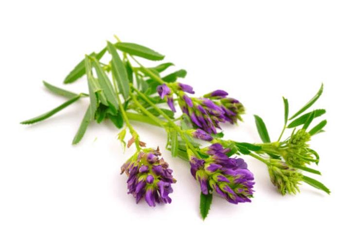 Trà thảo linh lăng có thể giảm tình trạng di tinh hiệu quả