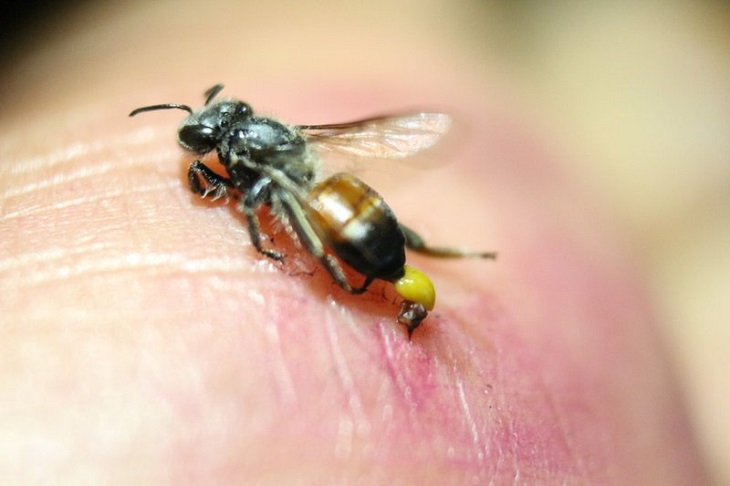Bài thuốc dân gian chữa bệnh viêm khớp bằng ong châm