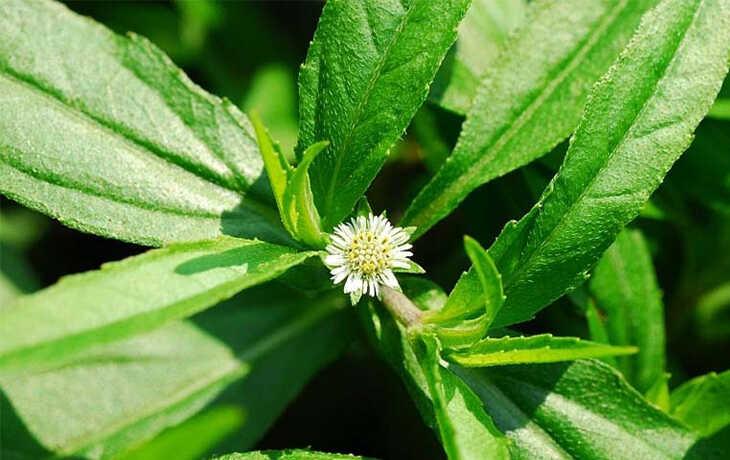 Mẹo chữa sỏi mật bằng cây nhọ nhồi sẽ khiến bạn bất ngờ