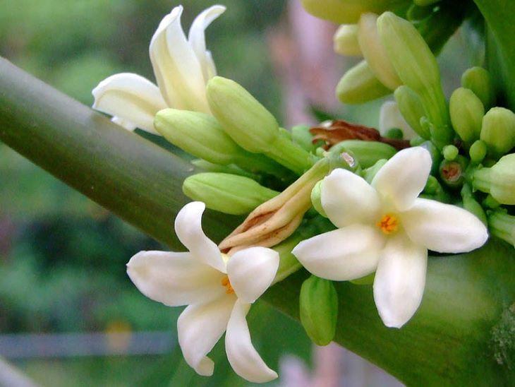 Dùng hoa đu đủ đực điều trị sỏi bùn túi mật hiện đang nhiều người áp dụng