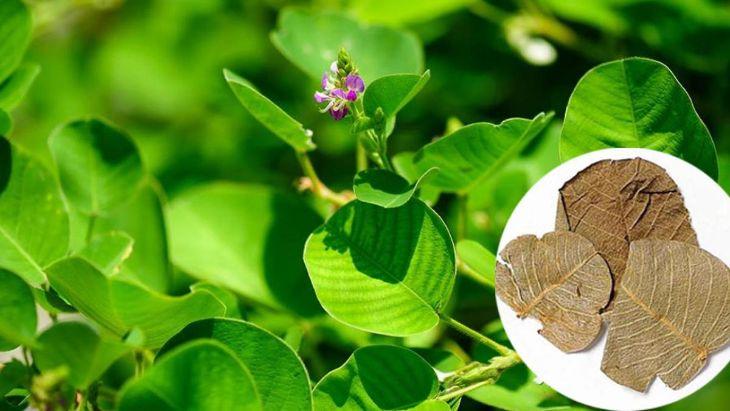 Kim tiền thảo có mặt trong sỏi mật trái sung