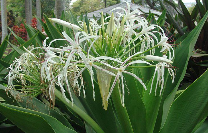 Náng hoa trắng giúp thu nhỏ kích thước phì đại tuyến tiền liệt