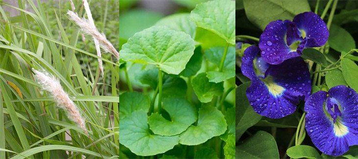 Cỏ tranh, rau má và rễ cây đậu biếc giúp giảm viêm, giải độc