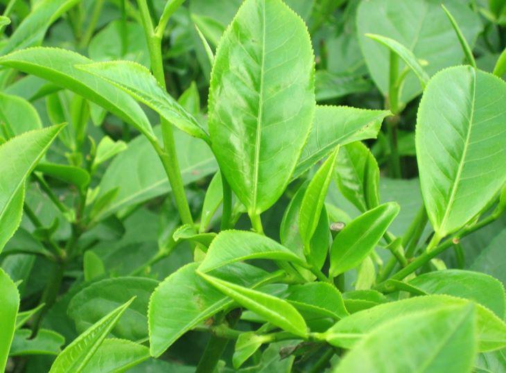 Lá trà xanh có tác dụng diệt khuẩn, chống viêm