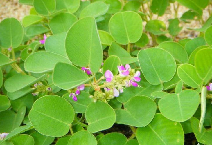 Kim tiền thảo là vị thuốc thường thấy trong Đông y để điều trị viêm tiết niệu