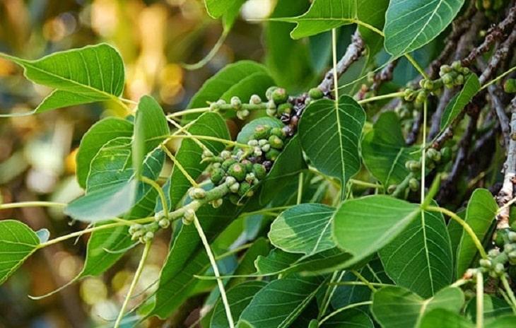 Nhũ hương là thảo dược quen thuộc trong dân gian