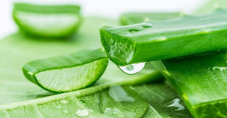 Nha đam có tác dụng rất tốt để kháng khuẩn và giảm triệu chứng bệnh