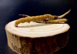 cách ăn đông trùng hạ thảo