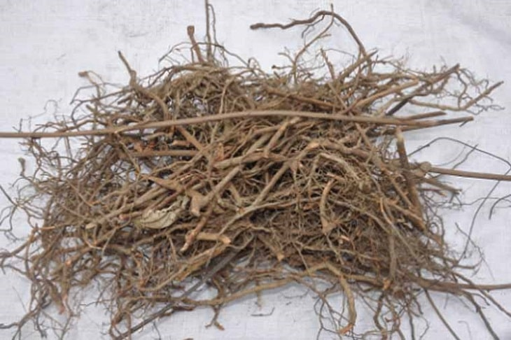 Rễ cây trinh nữ (cây xấu hổ) là dược liệu quý chữa bệnh viêm khớp và chứng mất ngủ