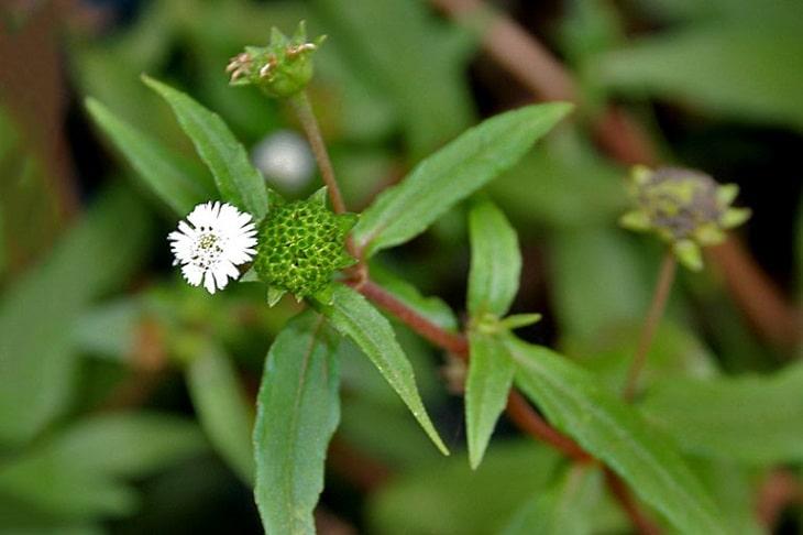 Cây cỏ mực còn có tên gọi khác là cây nhọ nồi hoặc hạ liên thảo