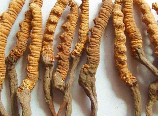 Đông trùng hạ thảo Nhật Bản