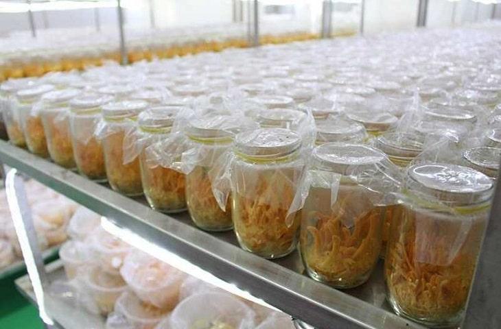 Những bào tử nấm được nuôi cấy trong lọ cơ chất