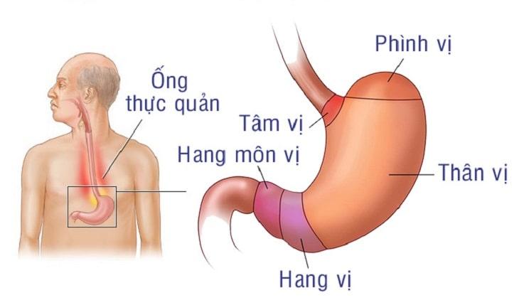 Vị trí của hang vị trong dạ dày con người
