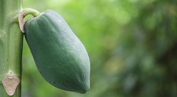 Đu đủ xanh còn có khả năng điều trị các bệnh lý về thận, đặc biệt là trong sỏi mật