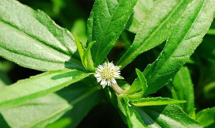 Bài thuốc chữa sỏi mật từ cây nhọ nồi được thực hiện khá đơn giản