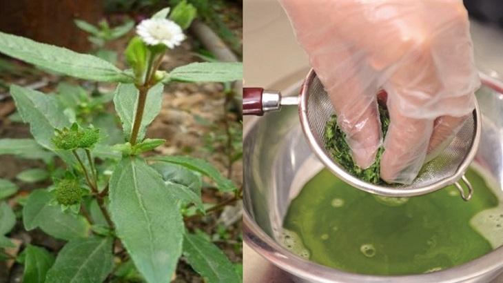 Dùng nước cốt lá nhọ nồi tươi là phương pháp đơn giản, hiệu quả trị bệnh đau dạ dày