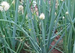 Mẹo chữa chàm bằng hành hoa được nhiều người áp dụng tại nhà