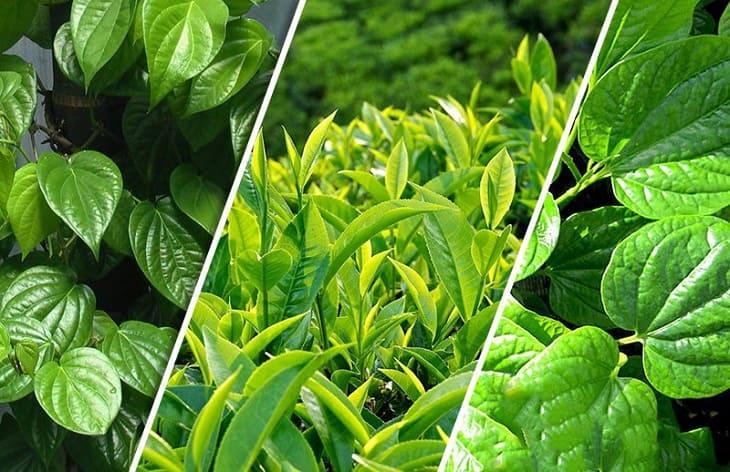 Tắm nước lá trầu không và trà xanh giảm cơn ngứa do nổi mề đay