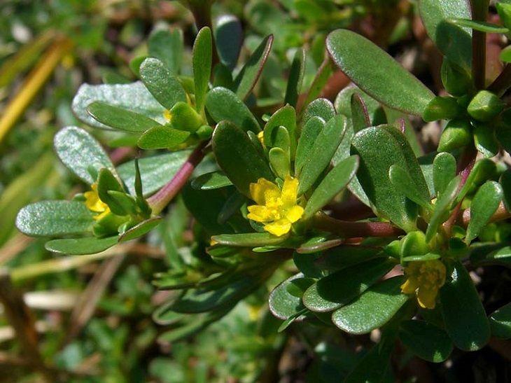Rau sam là thảo dược thường được dùng để trị mề đay, mẩn ngứa