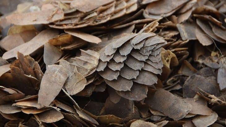 Hiệu quả chữa bệnh mề đay của vảy tê tê còn phụ thuộc vào cơ địa từng người