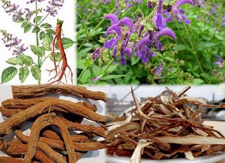 Rễ đan sâm có khả năng chữa trị nhiều bệnh như tim mạch, điều hòa kinh nguyệt