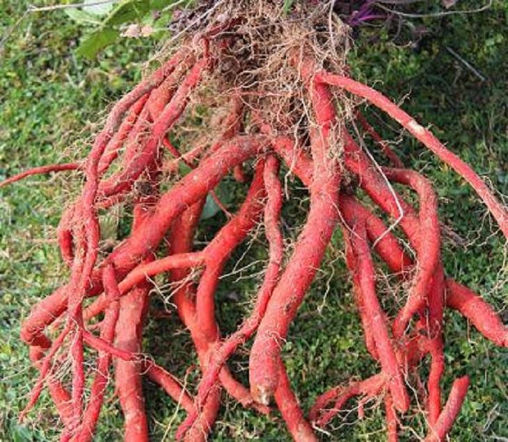 Rễ đan sâm được sử dụng làm thuốc với nhiều công dụng chữa bệnh
