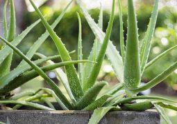 Nha đam giúp làm lành vùng da bị tổn thương và bổ sung thêm độ ẩm