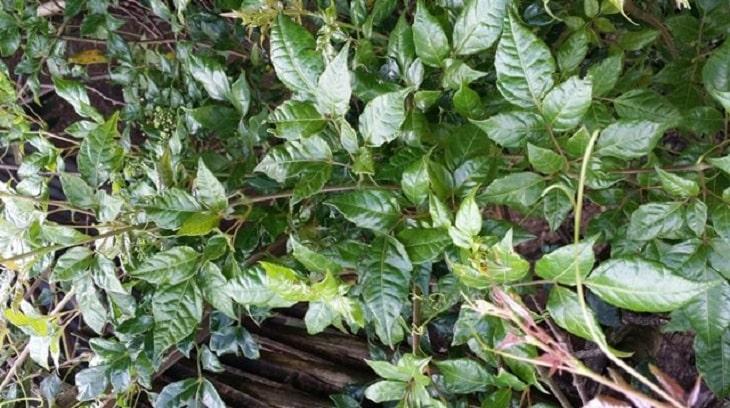 Cây trà dây được trồng nhiều ở khu vực miền núi phía Bắc