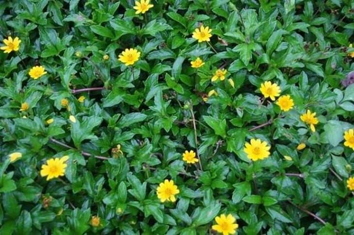 Đắp thuốc từ cây sài đất để chữa viêm da cơ địa