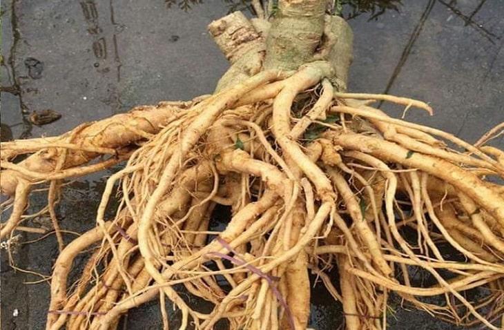 Chữa thoái hóa khớp gối từ rễ cây đinh lăng