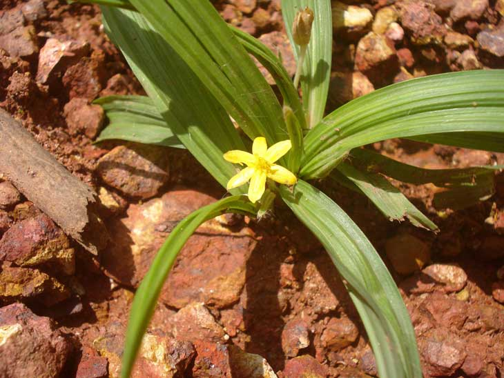 Sâm cau là thực vật mọc dại, xuất hiện ở nhiều nơi trên nước ta