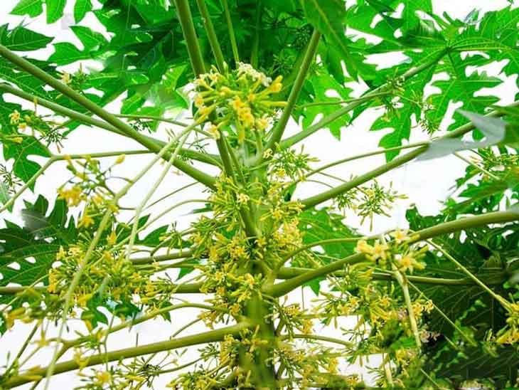Hình ảnh cây đu đủ đực trong tự nhiên