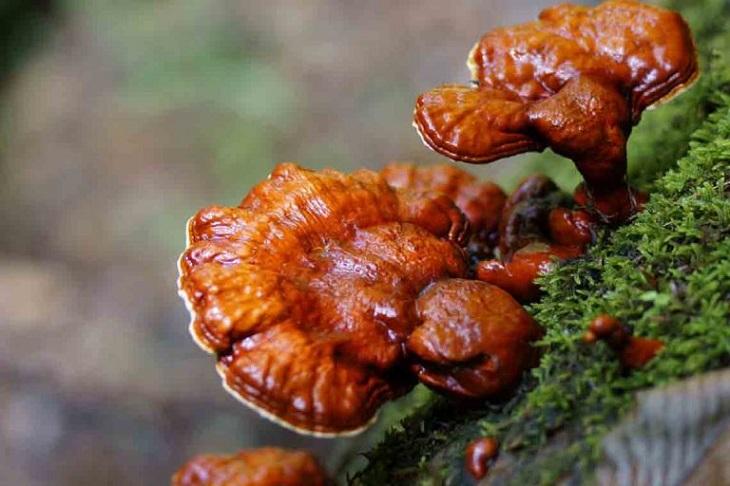 Dược liệu mọc chủ yếu ở các khu rừng nguyên sinh