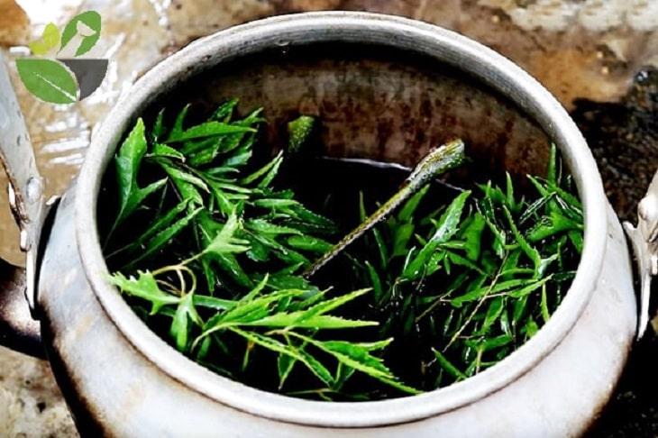 Dùng lá đinh lăng dạng tươi thường tốt hơn dạng khô