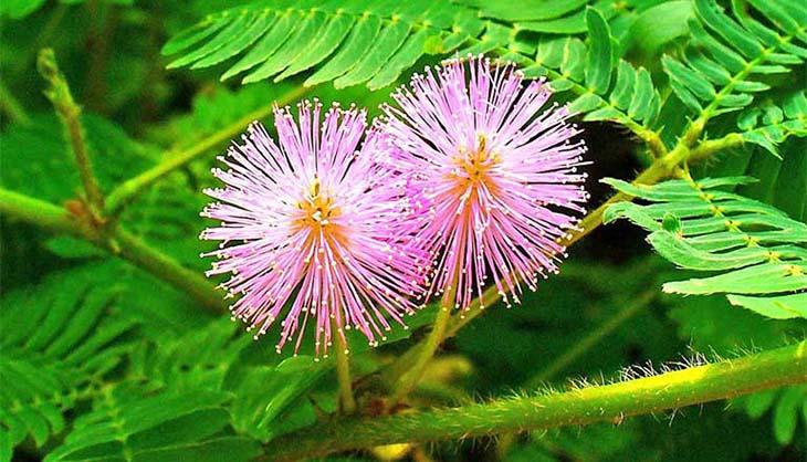 Cây xấu hổ có chứa flavonoid, mimosin, crocetin có công dụng tốt trong việc chữa suy nhược thần kinh