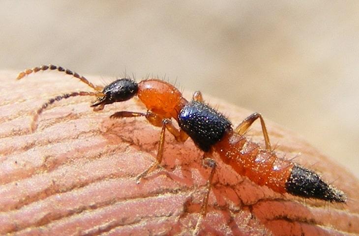 Kiến ba khoang là loài động vật chứa độc tính mạnh, xuất hiện nhiều vào mùa mưa