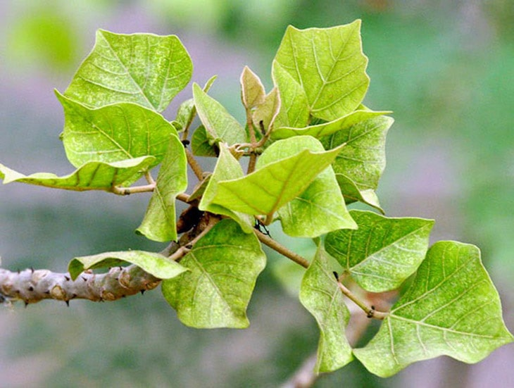 Mất ngủ uống lá gì - Lá cây vông