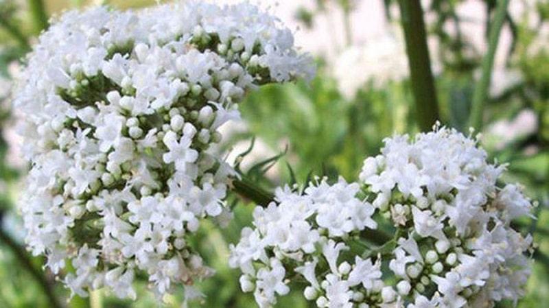 Cây nữ lang mọc nhiều tại khu vực Tây Nguyên và cách tỉnh miền núi phía Bắc