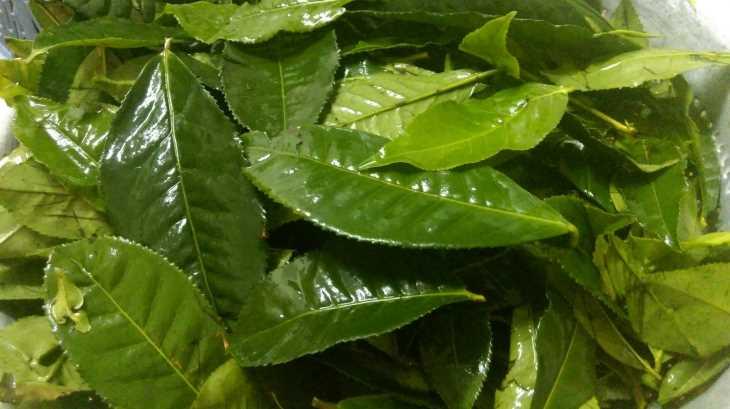 Lá trà xanh có tính sát khuẩn, chống viêm nên chữa á sừng rất hiệu quả