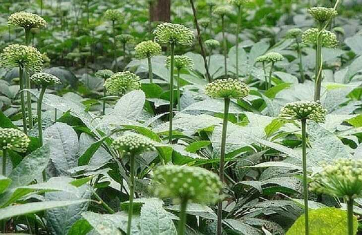 Hình ảnh hoa tam thất trong tự nhiên