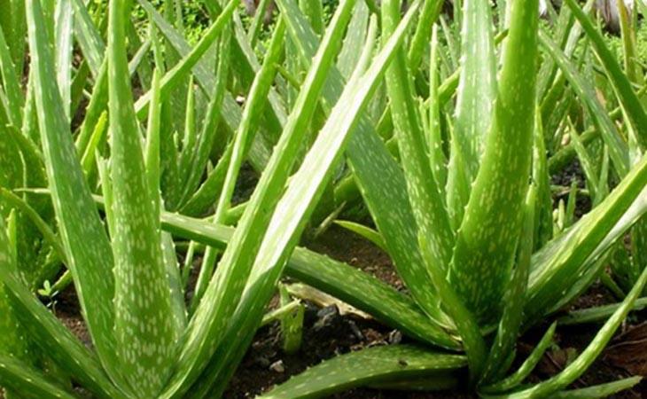 Trong nha đam có chứa nhiều vitamin và acid amin chống oxy hóa