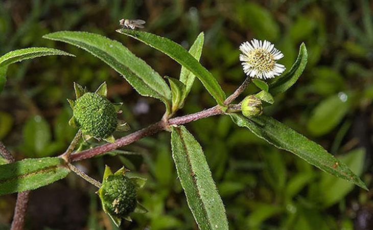 Trong cây nhọ nồi chứa một số chất kháng viêm