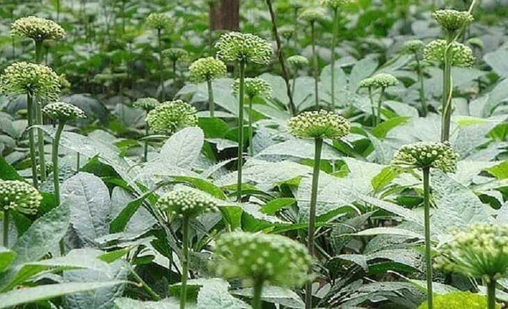 Hoa tam thất có tác dụng kích thích ngủ ngon, ngủ sâu giấc