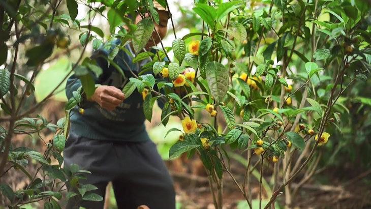 Hình ảnh cây trà hoa vàng được trồng trong tự nhiên