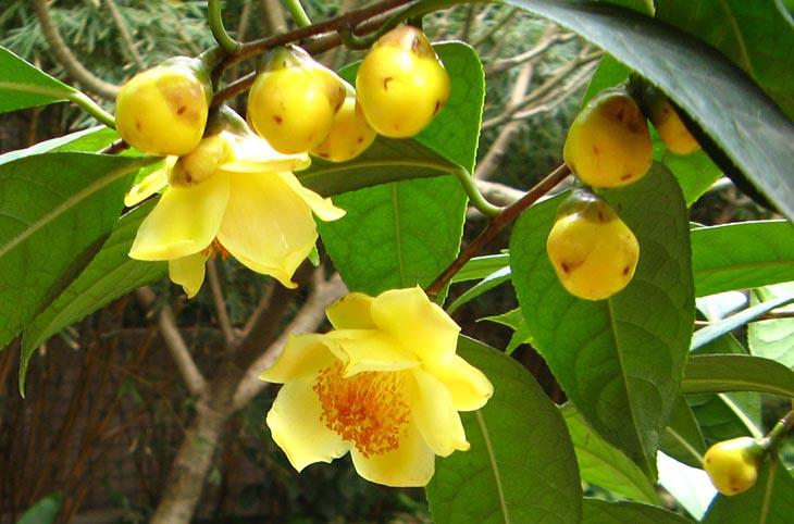 Trà hoa vàng Ba Chẽ - Quảng Ninh được đánh giá cao về chất lượng
