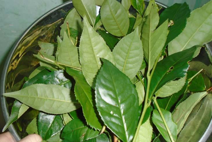 Bị vảy nến tắm lá gì? Dùng lá trà xanh